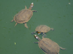 Turtles in the Palace of Zakros (European Pont Terrapins)